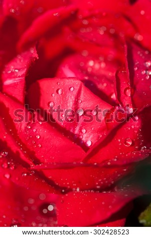 Beautiful rose flower macro shot. Love card