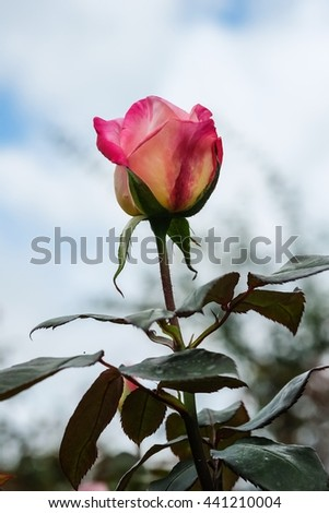 Beautiful rose flower with nature background, close up of rose, low key of beautiful rose in garden - stock photo