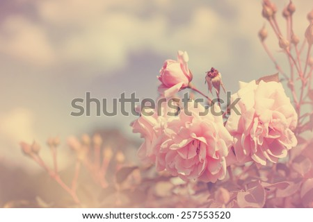beautiful rose flowers made with color filters - stock photo