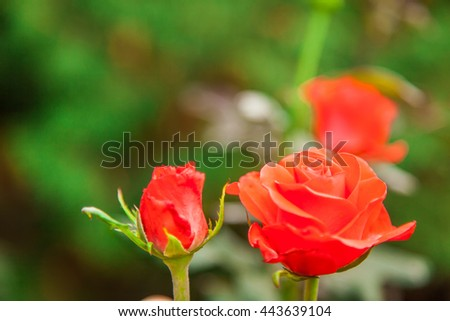 beautiful rose, growing roses, nature, petals on the rose blossoms