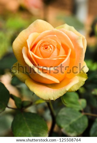 Beautiful rose in the garden - stock photo