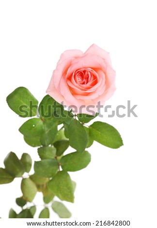 beautiful rose, isolated on white