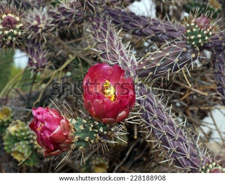 Beautiful rose like flower and bud on the Buckhorn cholla in the Arizona desert