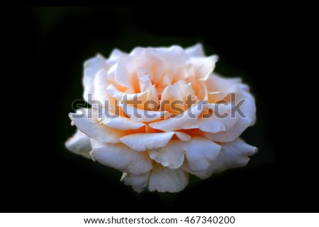 Beautiful rose on the black background