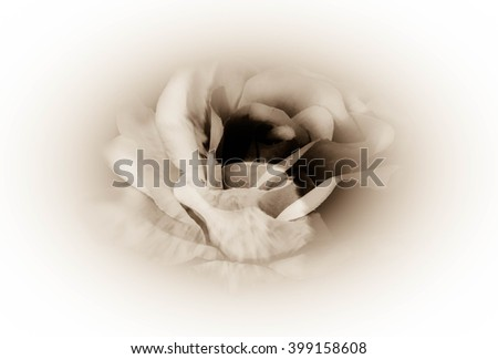 Beautiful rose on white background,Love