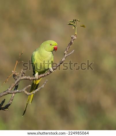 Beautiful Rose-ringed Parakeet - stock photo