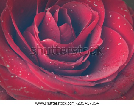 beautiful rose, vintage arrangement, closeup      - stock photo