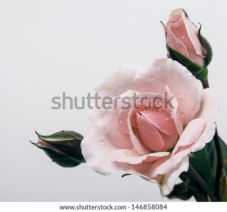 Beautiful rose with buds.Isolated on a white background. - stock photo