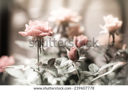 beautiful rose with drops in a garden - stock photo