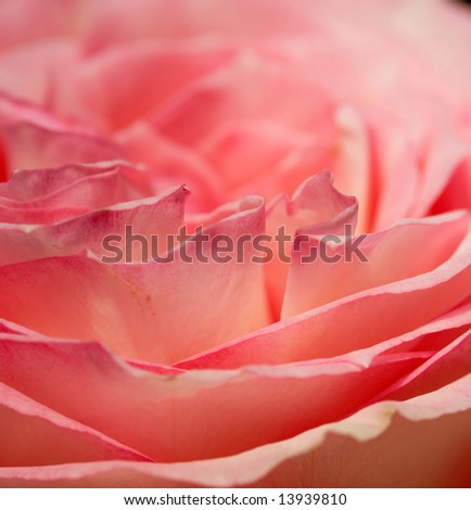 Beautiful rose with soft colors