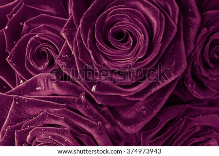 beautiful roses for background
