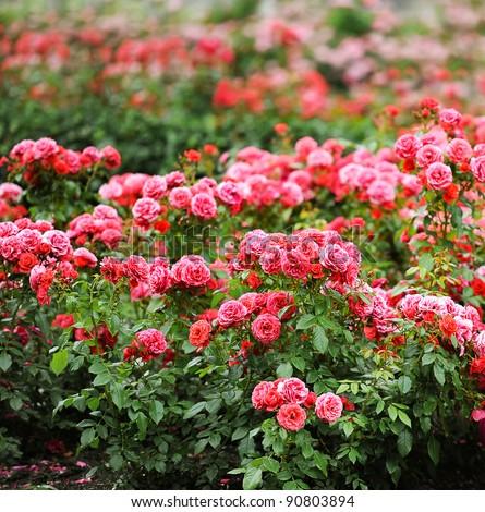 beautiful roses garden - stock photo