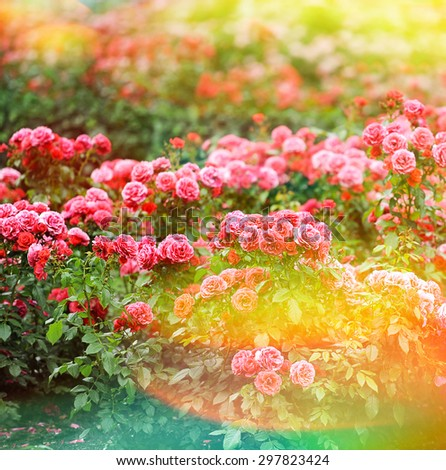 Beautiful roses garden. Summer flowers. Vintage style toned picture with lens flares and light leaks. Selective focus - stock photo
