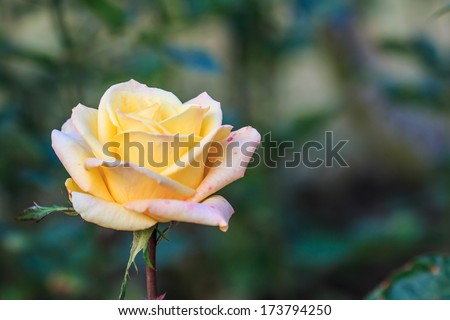 Beautiful roses yellow - stock photo
