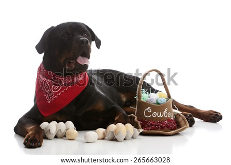 Beautiful rottweiler dressed in a bandanna and surrounded by a western Easter basket and eggs.  Isolated on white.