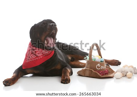 Beautiful rottweiler dressed in a bandanna and surrounded by a western Easter basket and eggs.  Isolated on white. - stock photo
