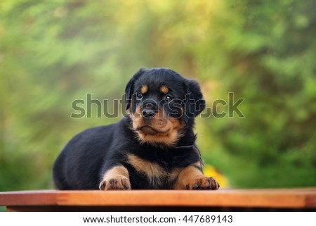 beautiful rottweiler puppy lying down outdoors