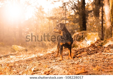 Beautiful rottweiler puppy walking at the park