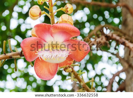 Beautiful round white magenta color flower of Cannon Ball Tree, Sal Tree, Sal of India, Couroupita guianensis Aubl. The plant in Buddhism history . - stock photo