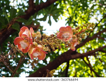 Beautiful round white magenta color flower of Cannon Ball Tree, Sal Tree, Sal of India, Couroupita guianensis Aubl. The plant in Buddhism history and typically be founded growing in Thai Temple area. - stock photo