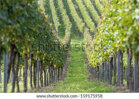 Beautiful rows of grapes in the vineyard before the harvest time - stock photo