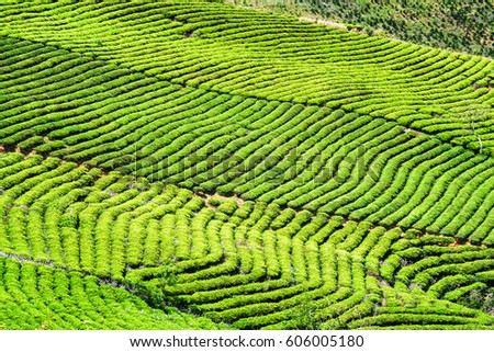 Beautiful rows of young bright green tea bushes at tea plantation. Amazing rural landscape.