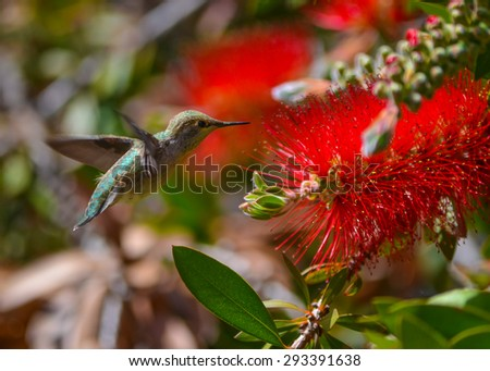 Beautiful Ruby-throated Hummingbird (archilochus colubris) in flight on a flower - stock photo