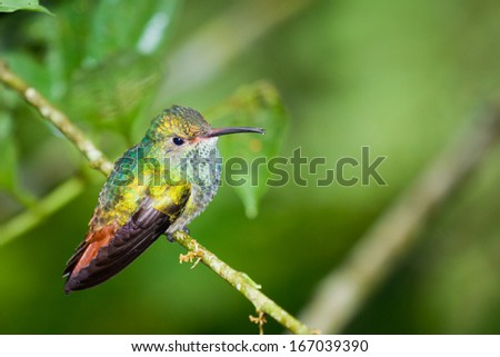 beautiful rufous tailed humming bird in the rainforest of Belize - stock photo