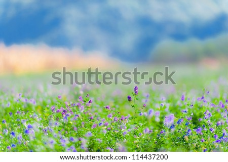 Beautiful rural field with alfalfa flowers, on a bright autumn day - stock photo