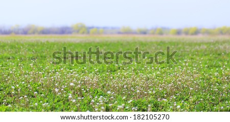Beautiful rural field with alfalfa flowers, on a bright spring day