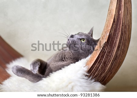 Beautiful Russian Blue Cat relaxing on Palm Leaf
