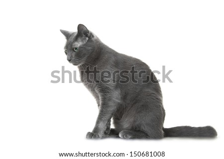 beautiful Russian blue cat sitting on isolated white background - stock photo