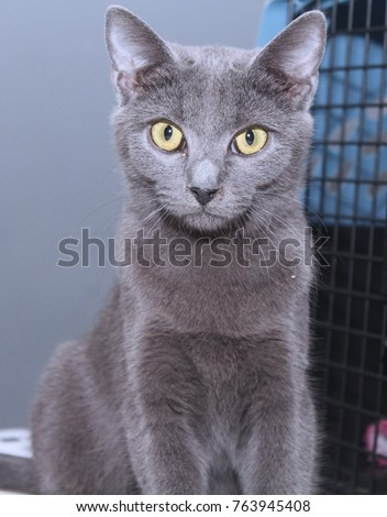 BEAUTIFUL RUSSIAN BLUE CAT WITH YELLOW EYES