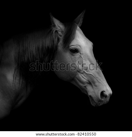 "Beautiful Russian trotter named Rur, borned in Pskov stud farm, prize winner of the St. Petersburg International Horse Exhibition ""Ipposphere"". Black and white portrait. - stock photo"