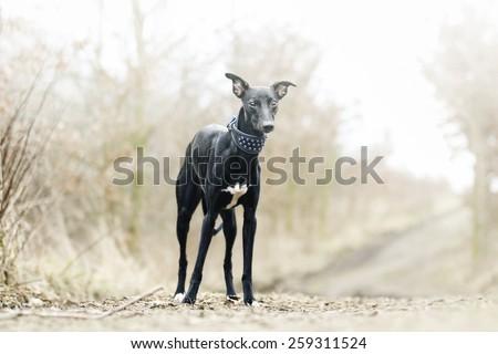 beautiful sad waiting black whippet dog puppy in spring background - stock photo