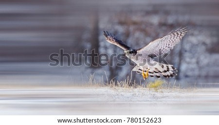 Beautiful Saker Falcon