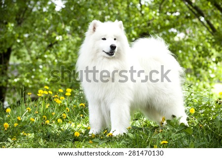 beautiful Samoyed dog - stock photo