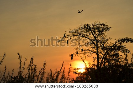 Beautiful savannah sunset, silhouette of a thorn tree with nests - stock photo