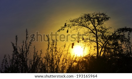 Beautiful savannah sunset, silhouette of a thorn tree with weaver's nests - stock photo