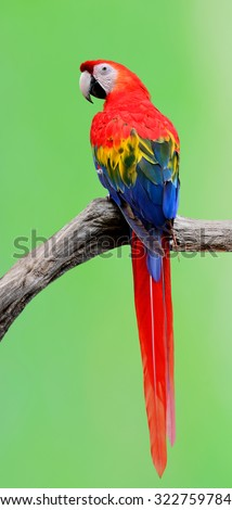 Beautiful Scarlet Macaw (Ara macao) or red parrot perching on the branch with nice blur green background - stock photo