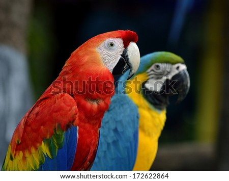 beautiful Scarlet macaw with blue and gold macaw parrot birds sitting together