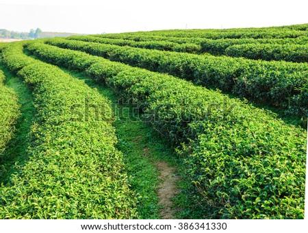 Beautiful scenery tea plantation in northern Thailand. - stock photo
