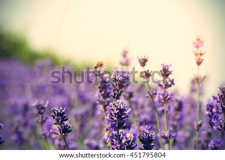 beautiful scented lavender flowers in growth at field   - stock photo