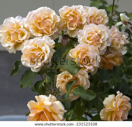 Beautiful  scented romantic  intense  copper hued  hybrid tea  roses in bloom in late spring  are  a gardener's delight and a joy to behold. - stock photo
