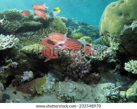 Beautiful school of crown squirrelfish - stock photo