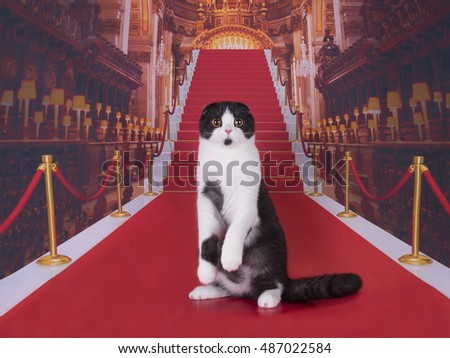 beautiful Scottish cat on the red carpet