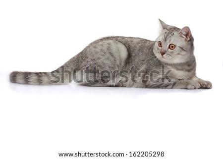 Beautiful scottish grey cat close up  - stock photo