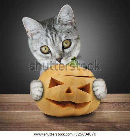 Beautiful scottish kitten holding a pumpkin - stock photo