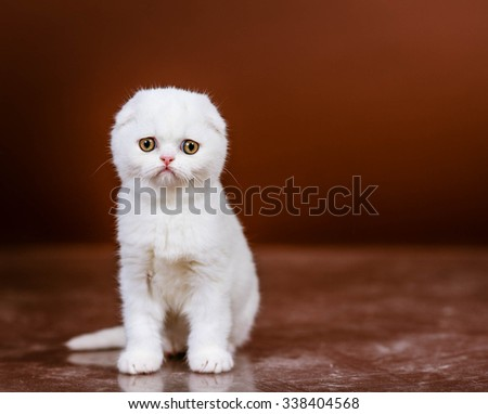 Beautiful Scottish  kitten in a studio, closeup portrait - stock photo