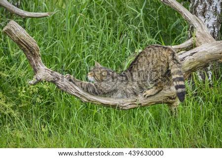 Beautiful Scottish Wildcat relaxing on tree in Summer sunlight - stock photo